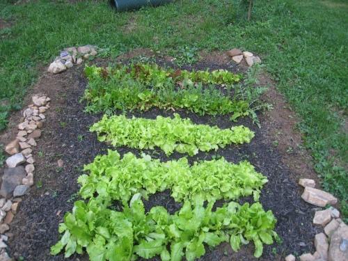GrowDammit Lettuce