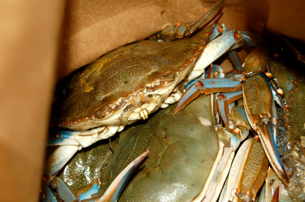 Blue Crabs Running Scared
